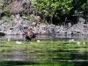 moose-in-waterlilies