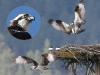 osprey-collage