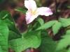 trillium-pink