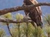 bald-eagle-immature-4752