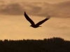 bald-eagle-silhouette-3956