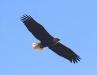 eagle-bald-gliding
