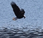 eagle-bald-looking-for-fish