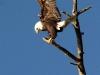 eagle-bald