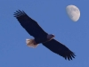 eagle-in-flight-moon