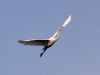great-egret-in-flight