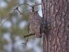 great-horned-owl-1429