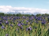 iris-field-with-mountains