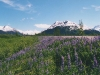 lupine-field-and-mountains