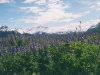 lupine-field-with-mountains