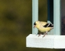 american-gold-finch