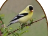 american-goldfinch-pair