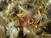 baby-sparrows