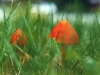 cone-shaped-hygrophorus