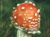 fly-agaric