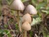 haymakers-mushroom