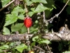 salmonberry-red