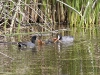 american-coot-pair-chicks