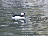 bufflehead-duck