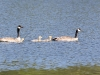 canada-goose-family-swimming