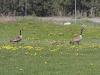 canada-goose-family