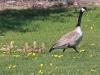 canada-goose-gander-wfour