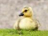 canada-goose-gosling