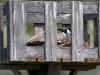 canada-goose-in-nesting-box