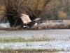 canada-goose-landing