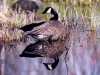 canada-goose-reflection