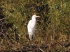 great-egret-6982