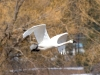 swan-tundra-in-flight