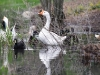 white-chinese-goose-with-reflections