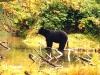 bear-black