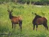 elk-pair
